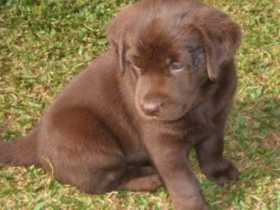 Labrador Chocolate