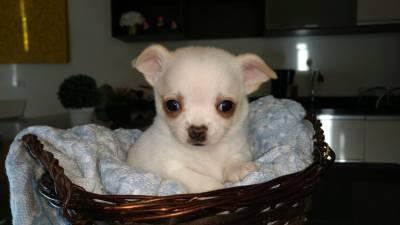 Chihuahua Super mini pelo curto Belíssima