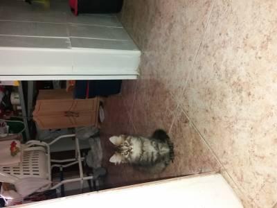 Se venden gatitos persa chinchilla