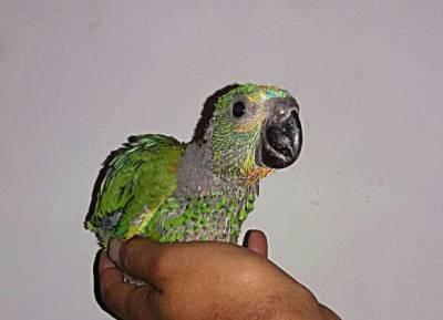 vendo papagaio verdadeiro