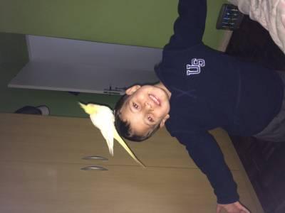Calopsita Perdida Amarela