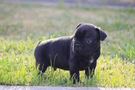 Bulldog Frances c lop p entrega