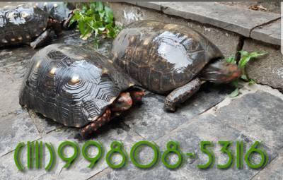 Jabuti adulto- casal  de quintal