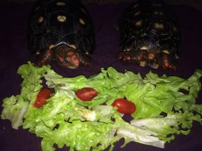 Tartaruga adulta a venda