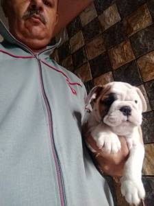 bulldog ingles alto padrão