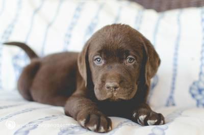 Labrador Chocolate Filhotes