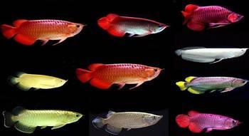 Stingray peixes tropicais e arowana peixes disponí
