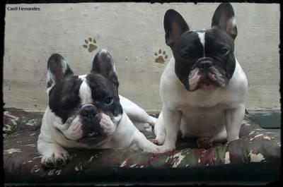 Ultimo filhote Bulldog Francês - Padrao da raça