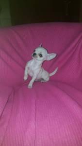 Chihuahuas lindissimos minis