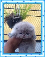 Gatos Exóticos de Pêlo Curto Lindos Filhotes