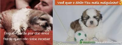 Shih-Tzu filhotes - Canil Especializado