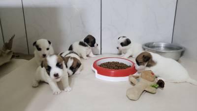 Filhotes de Jack Russell Terrier Canil Ballantine
