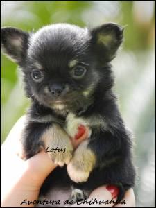 Chihuahua macho pelo longo preto castanho e Branco