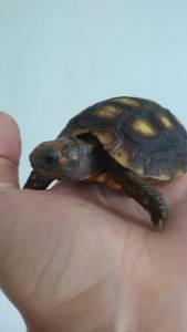 Tartaruga  de terra a venda em Santos