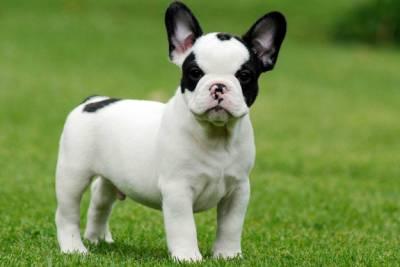 canil especializado em Bulldog Frances