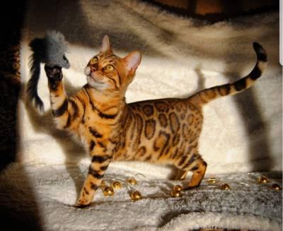 Gatos Bengal Brown Spotted Alta Qualidade