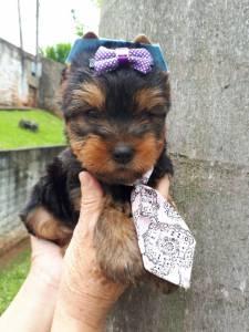Lindos filhotes de Yorkshire terrier