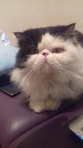 Gato para acasalar