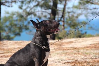 Bull Terrier Miniatura para montas