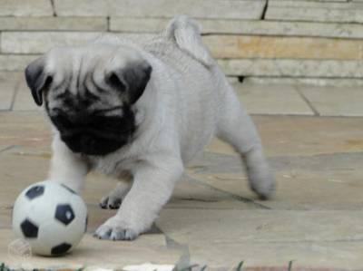 Pug Abricort
