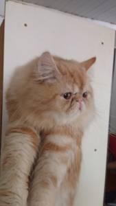 Gato Persa CHAMPANHE procurando narorada
