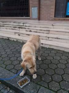 Labrador bege perdido na Madalena v n g