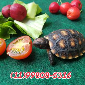 Tartaruga de terra filhote