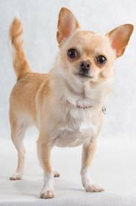 Adoção de Chihuahua