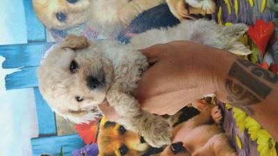 Poodle Toy  lindos filhotes disponíveis com pedigree
