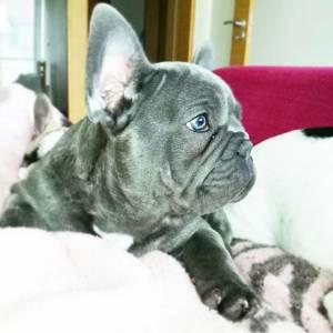 Jaxx Bulldog Francês Azul