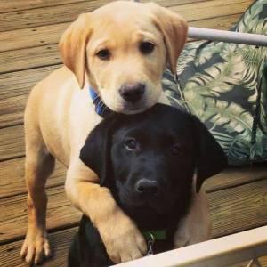Labrador Puro Vacinado Vermifugado com Pedigree e Suporte Veterinário