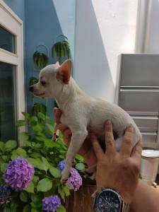 Chihuahua mini branco procura namorada