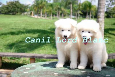 VENDO FILHOTES DE SAMOIEDA