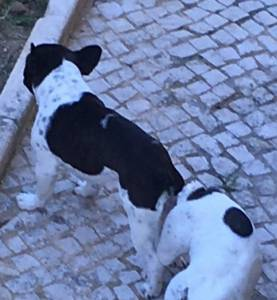 Bulldog francês linha top
