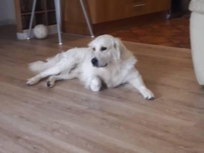Cão Golden Retriever com LOP