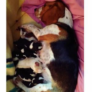 Beagle bicolor e tricolor