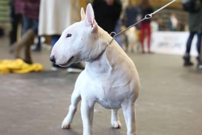 Bull Terrier Miniatura para cruzas