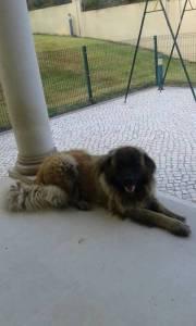 Dois Cães Serra da Estrela desapareceram