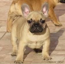 Filhotes de Bull dogue Frances