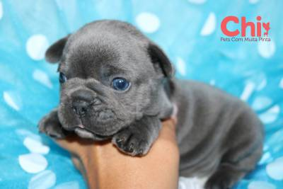 buldogue frances azul