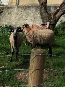 Ovelhas dos Camarões  Muflões