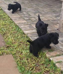 Filhotes de Scottish Terrier