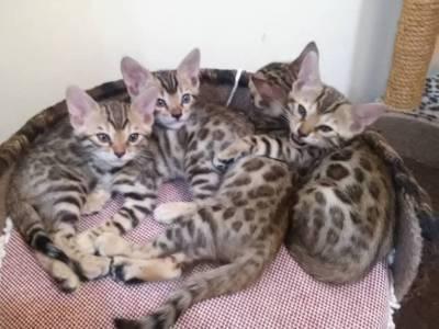 Filhotes de Bengal