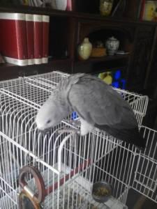 Papagaia muito meiga já fala muito