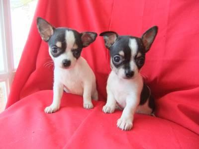 filhotes de Chihuahua pelo curto