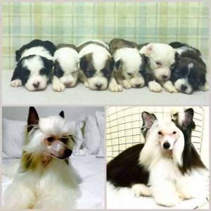 Filhotes de Cão de crista Chinês pronta entrega