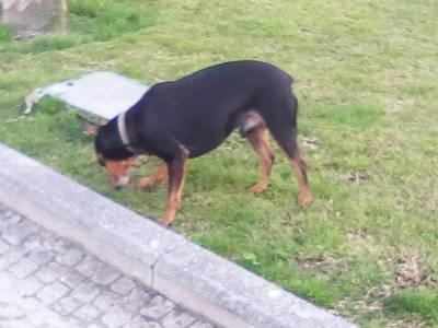 Pincher perdido em Braga
