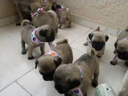 Filhotes de Pug Abricot pronta entrega