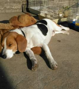 Eu quero cruzar o meu cão com cadela Beagle