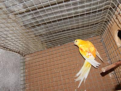 Agapornis e outras aves